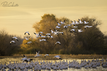 Fall-Snow-Geese