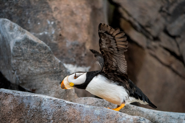PCL0862-Edit-puffin-flapping-copy