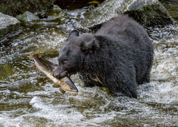 PCL3587-bear-with-salmon-TC-copy-copy