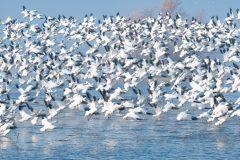 Snow Geese Taking Flight