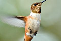 98_3PL0888-humming-bird-2-sharp-250-for-web