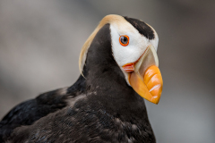 PCL0960-tufted-puffin-Edit-copy-final