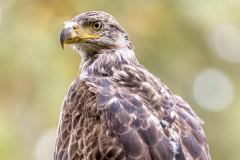PCL3158-Edit-young-eagle-tc-crop-FSS-copy