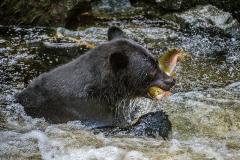 PCL3561-Edit-bear-with-fish-tc-copy