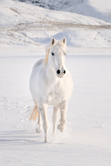 8509496-Edit_white_horse__FSS_Print_signed-copy