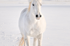 8509496-Edit_white_horse__FSS_Print_signed-copy