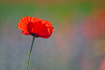 3PL3334-small-single-poppy-with-purple