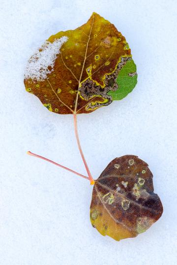 Aspen-Leaves-in-Snow