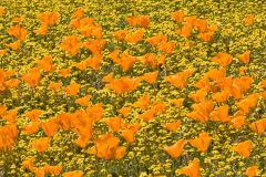 2PL4067-Poppies-pano-no-purple-for-web