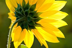 3PL3305-Yellow-flower-250