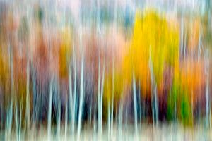 Aspen Forest Abstract - Eastern Sierra Mountains, California