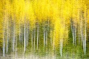 Aspens, abstract, San Juan Mountains, Colorado